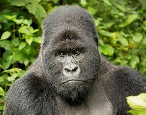 Gorilla Background Information, Facts, History - Mountain Gorilla Description