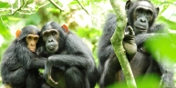 Uganda Big 5 Safari  4-Day Murchison Falls Park Game, Rhinos & Chimpanzee Tracking - Chimpanzees of Uganda and the best place to see chimps