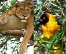 Short mountain gorilla and chimpanzee safaris - 4 day Queen elizabeth wildlife