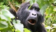 From Budget to Luxury while you go Mountain Gorilla Tracking at Bwindi Impenetrable Forest - 12 habituated mountain gorilla group families to visit in Bwindi - Uganda