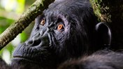 Chimpanzee Trekking in Kibale National Park - 3 day Chimpanzee Tracking Uganda Short Safari