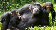 Chimpanzee Tracking & Murchison falls Safari - Uganda Short Safari, kibale