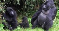 Queen Elizabeth Park Wildlife Uganda Safari Itinerary - Gorilla Tracking (trekking) information
