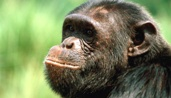 Chimpanzee Tracking & Murchison falls Safari - 2 day ngamba chimpanzee island tour