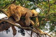 1-2-3-4 day short Uganda safaris tour 3 day tree climbing lions