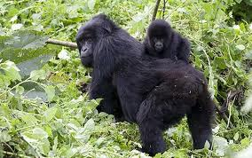 4-Day Murchison Falls Park Game, Rhinos & Chimpanzee Tracking - Bwindi Impenetrable Forest Park
